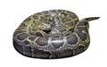 Python molurus on white Royalty Free Stock Photo