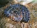 Python snake Royalty Free Stock Photo