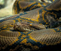 Python Snake Royalty Free Stock Photo