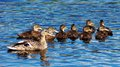 Quack a mother and her ducklings on the river doon in ayrshire scotland Stock Image