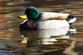 Quack quaking male duck on a serene reflective pond Stock Images