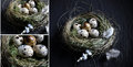 Quail Egg Montage Royalty Free Stock Photo
