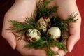 Quail eggs 2 Royalty Free Stock Photography