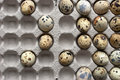 Quail eggs in the cardboard packing horizontal Stock Photos