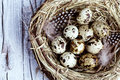 Quail eggs and feathers in birds nest Stock Images