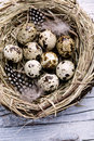 Quail eggs and feathers in birds nest Royalty Free Stock Photography