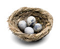Quail eggs in the nest close up birds with several brown beige dotted Stock Images