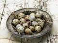 Quail eggs steel plate with fresh farm Stock Images