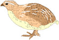 Quail farm raised color illustration Stock Photos