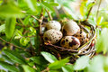 Quail nest with eggs on tree closeup Royalty Free Stock Images