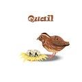 Quail with nest end eggs