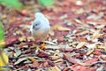 Quail walking in red wood chips grey an aviary butterfly world south florida Stock Photo