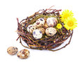 Quails eggs nest isolated white Royalty Free Stock Photos