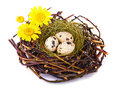 Quails eggs nest isolated white Royalty Free Stock Images