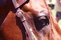 Quarter horse Royalty Free Stock Photo