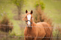 Quarter horse in pasture chestnut colored behind barbed wire fence with the wind blowing its mane Stock Image