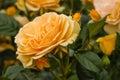 Queen Amber Rose Flowerhead An...