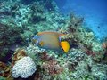Queen angelfish Royalty Free Stock Photo