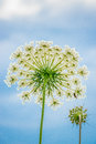 Queen Anne Lace Royalty Free Stock Photo