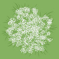 Queen Anne's Lace Royalty Free Stock Photos