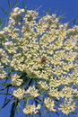 Queen Anne's Lace  22247 Royalty Free Stock Images