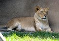 The queen of beast at the memphis zoo a beautiful african lioness graces visitors Royalty Free Stock Images