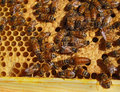 Queen bee and workers a can be seen in the lower right corner of the photo surrounded by worker bees on a honeycomb in a frame Royalty Free Stock Photo