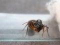 Queen Carpenter ant threaten to prevent eggs Royalty Free Stock Photo
