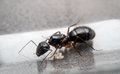 Queen Carpenter ant to prevent eggs Royalty Free Stock Photo
