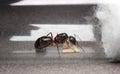 Queen Carpenter ant to prevent eggs, larva Royalty Free Stock Photo