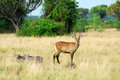 Queen Elizabeth national park's animals Royalty Free Stock Photos