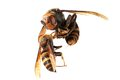 A queen of Japanese giant hornet vs vespa ducalis Royalty Free Stock Photo
