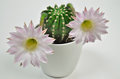 Queen of the night cactus with Blossoms Royalty Free Stock Photo