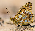 Queen of Spain Fritillary Royalty Free Stock Photos