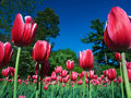 Queen Victoria Tulips Stock Image