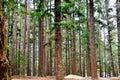 Queenstown Douglas Fir Pine Forest