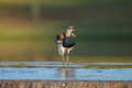 Quero Quero bird on water cooling down Royalty Free Stock Photo