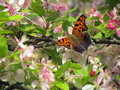 Questionmark butterfly a on cherry blossoms in spring Royalty Free Stock Photo
