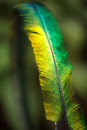 Quetzal feather very shallow depth of field Stock Images