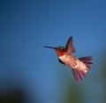Quick turn hummingbird that is making a fast in the air Stock Photos