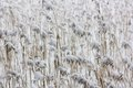The quiet neutral background from a reed and snow Royalty Free Stock Photo