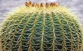 Quills and prickly cactus spines of a dangerous succulent plant very Royalty Free Stock Photo