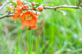 Quince in bloom a bush is full with its bright orange blossoms of spring Royalty Free Stock Image