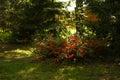 Quince bush in the garden