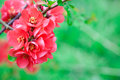 Quince flowers Royalty Free Stock Photography