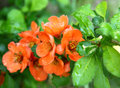A quince flowers Japanese (Chaenomeles) Stock Photo