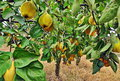 Quince tree Royalty Free Stock Photo
