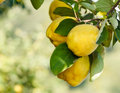 Quinces on tree with beautiful bokeh copy space composition shallow dof Royalty Free Stock Photography