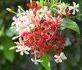 Quisqualis indica flower plant chinese honeysuckle rangoon creeper combretum indicum Royalty Free Stock Photography