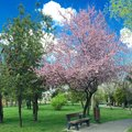 Quite park bench under flowering cherry tree Royalty Free Stock Photo